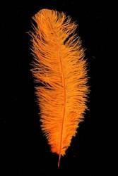 Struisvogelveer Oranje ca. 30cm