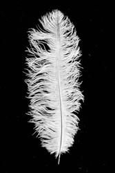 Struisvogelveren ca. 30cm Wit